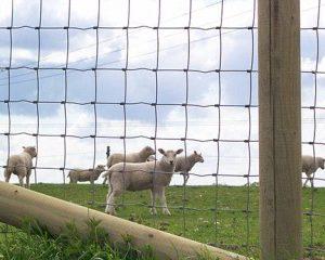 schapengaas
